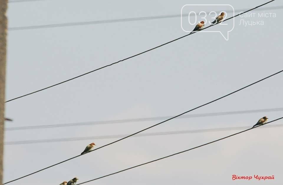 Бджолоїдки та ластівки в об'єктиві луцького фотографа (ФОТО), фото-3