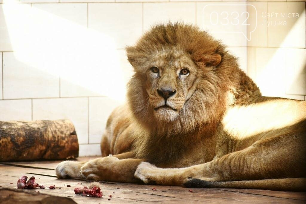 Через смерть найбільшого лева у Луцькому зоопарку може поселитися новий король звірів, фото-1