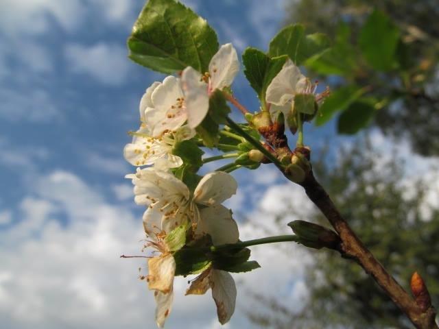 Парадокс: восени на Волині розцвіли вишні, фото-2
