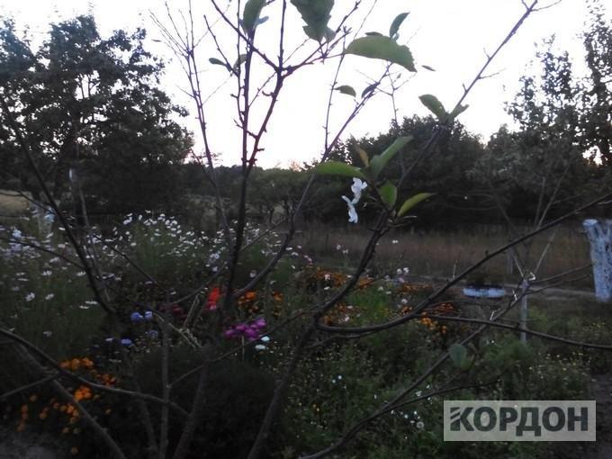 Парадокс: восени на Волині розцвіли вишні, фото-3